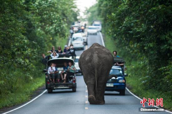 资料图:一头大象突然闯入泰国公路中央,开始漫步。 图片来源:视觉中国