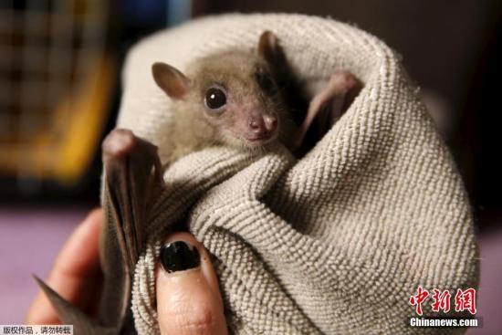 萌!32只蝙蝠冰箱里过冬冬眠后被放归大自然