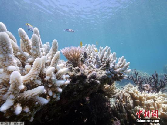 """资料图片:2016年,澳大利亚昆士兰蜥蜴岛的研究站发布的大堡礁珊瑚加速白化的照片。据该研究站负责人称,所谓""""白化""""是由于气候变暖,给珊瑚虫提供营养的海藻死亡,而造成珊瑚群失去色彩而变白的现象。"""