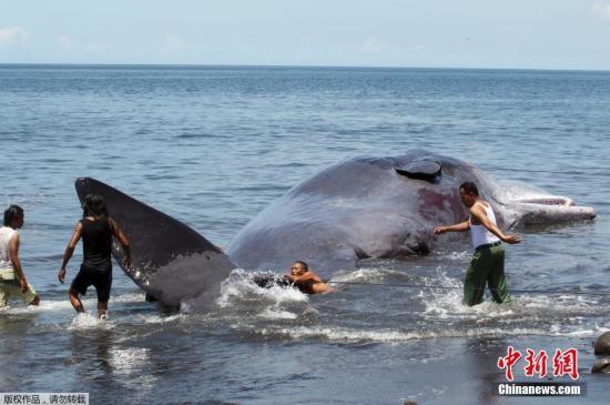 本地工夫3月14日,一头16.2米少的抻鲸正在印度西亚巴厘岛克隆孔县海滩停顿,很多本地人正在鲷尸身旁围不雅。