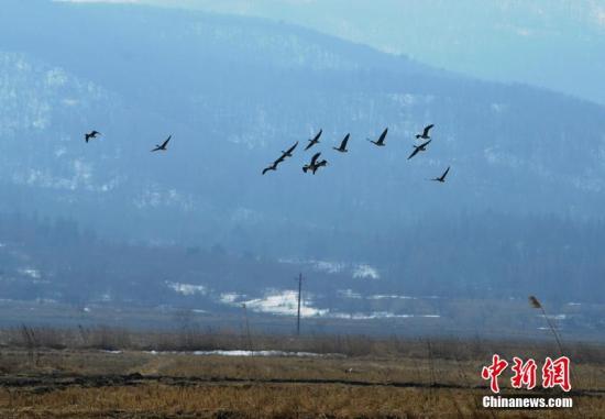 资料图:每年三月,成群的大雁聚集,已成为当地独特景观。 张瑶 摄