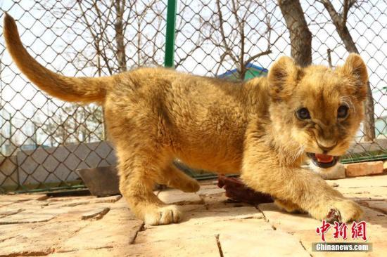 青藏高原野生动物园育活三只非洲狮