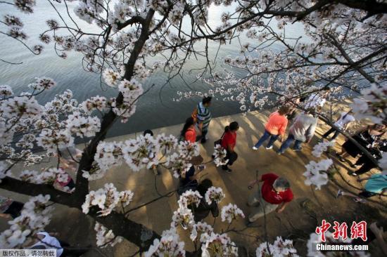资料图:美国华盛顿,潮汐湖两岸樱花盛开。
