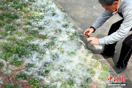 """4月5日,随着气温的回暖,江西九江市内的垂柳大量飞絮,宛如""""四月飘雪""""。在该市民俗园内,飘飞的柳絮像白色精灵般漫天飞舞,地面和草地上都是堆积的柳絮,像被白雪覆盖一般,形成一道独特的风景。刘家 摄"""
