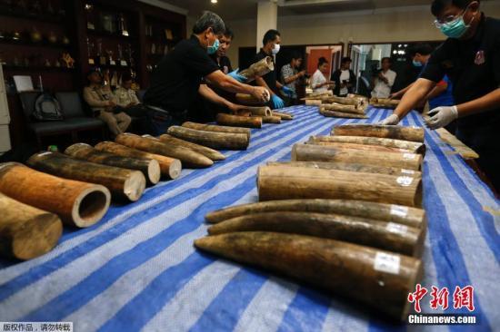 材料图:本地时刻2016年4月5日,泰国曼谷素万那普世界机场海关截获315千克(约合694磅)象牙,代价达2800万泰铢(约合79.2万美圆)。据悉,这些象牙来自莫桑比克。