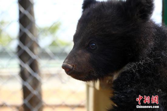 资料图:黑熊。 中新社记者 罗云鹏 摄