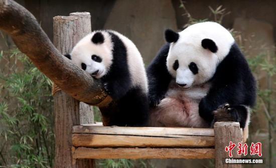 """资料图:中国租借马来西亚的两只大熊猫""""兴兴""""和""""靓靓""""于去年8月18日诞下的熊猫宝宝4月7日正式被命名为""""暖暖"""",象征中马两国友好邦交。目前,""""暖暖""""7个月零19天大,重16.4公斤。/p中新社记者 赵胜玉 摄"""