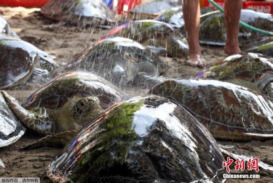 资料图:绿海龟。