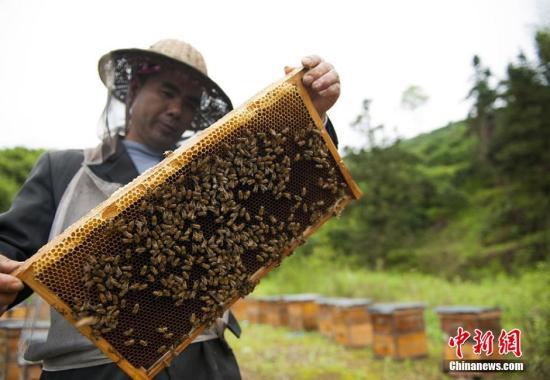 資料圖:蜜蜂。屈洪文 攝