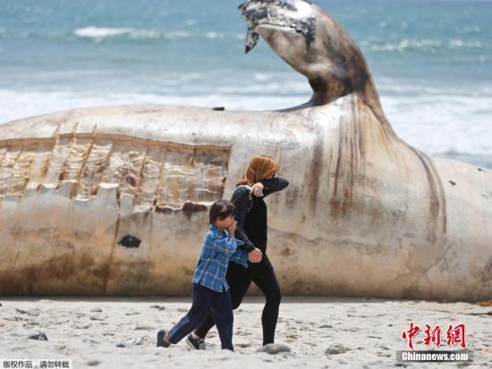 當地時間2016年4月26日,美國加州知名沖浪海灘驚現灰鯨尸體,周圍臭味彌漫,路過的民眾紛紛掩鼻,還有些市民選擇忍著臭味合影留念。