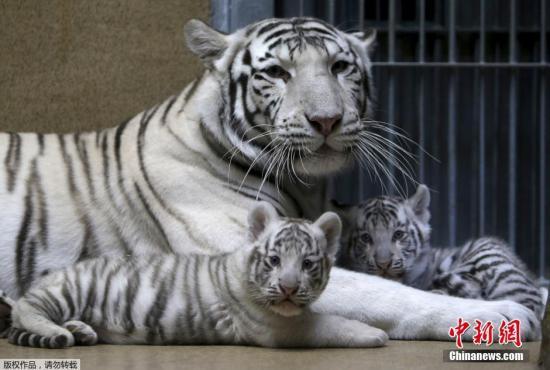 资料图片:白虎。