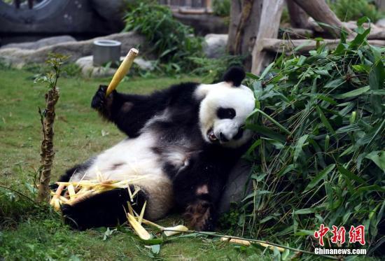 """资料图:大熊猫""""盈盈""""。<a target='_blank' >中新社</a>记者 张宇 摄"""