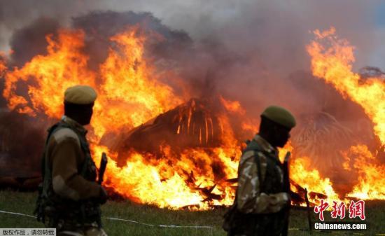 资料图:肯尼亚销毁105吨非法象牙,总统亲手点火。