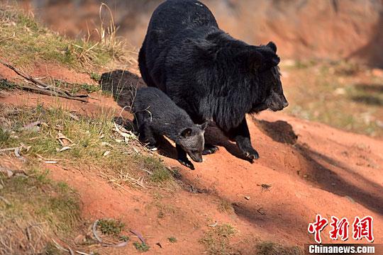 5月6日,母熊带领小熊在黑熊馆散步。中新社记者 刘冉阳 摄