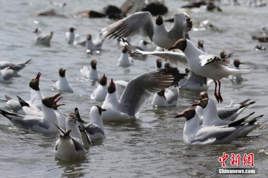 5月7日,青海湖鸟岛迎来大量候鸟,拉开2016年观鸟季序幕。据青海湖景区管理局近期巡湖监测数据显示,青海湖目前共监测到水禽37种,数量超过41700只。其中,已进入繁殖期的普通鸬鹚有11840余只、渔鸥8800余只、斑头雁6590余只、赤麻鸭460余只。图为青海湖边嬉戏的棕头鸥。 罗云鹏 摄