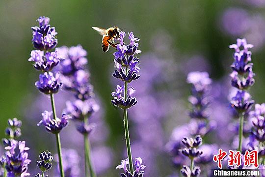 资料图:蜜蜂在花海中采蜜。泱波 摄