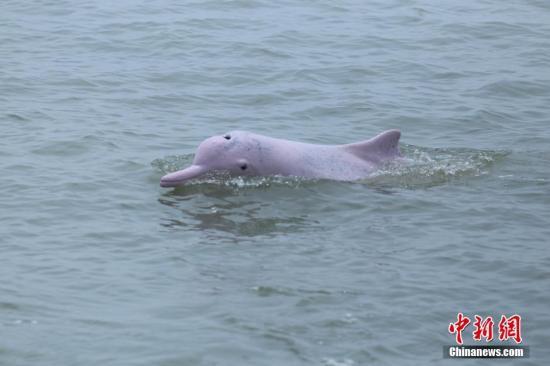 資料圖:中華白海豚。 於海 攝