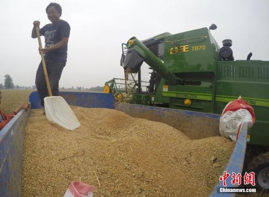收割机在麦田中收割。<a target='_blank' href='http://www.chinanews.com/'>中新社</a>记者 张娅子 摄