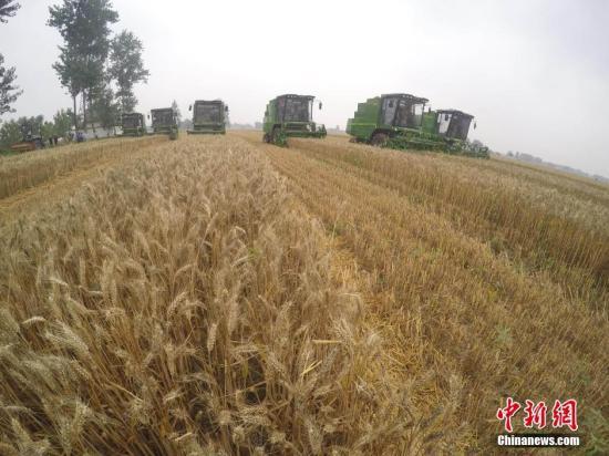 6月3日,收割机在麦田中收割。当日,安徽省涡阳县万亩麦田大面积收割,当地农业合作社使用联合收割机、打捆机、灭茬机、免耕播种机、粮食烘干机联合作业,实现了从粮食收获、秸秆还田综合利用、下季作物播种到粮食烘干、售卖的一体化作业,大幅提高了作业效率和经济效益。<a target='_blank' href='http://www.chinanews.com/'>中新社</a>记者 张娅子 摄