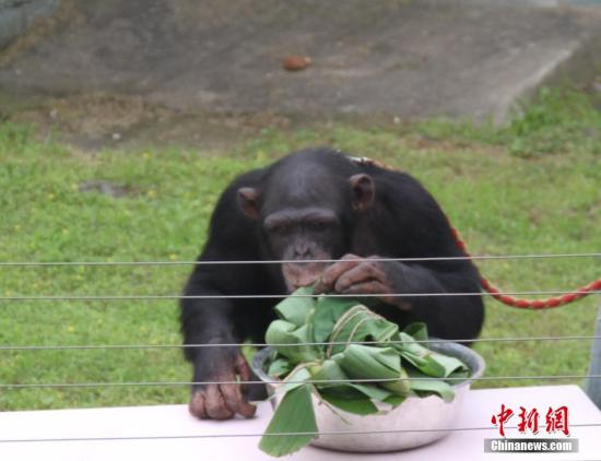 资料图片:黑猩猩。 孙权 摄