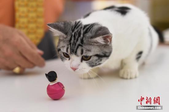一只美国短毛猫被小玩偶吸引。 武俊杰 摄