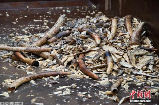 材料图:本地时刻2016年6月13日,新加坡当日烧毁了7.9吨象牙,这些不法象牙在2014年和2015年缉获,代价约960万美圆。