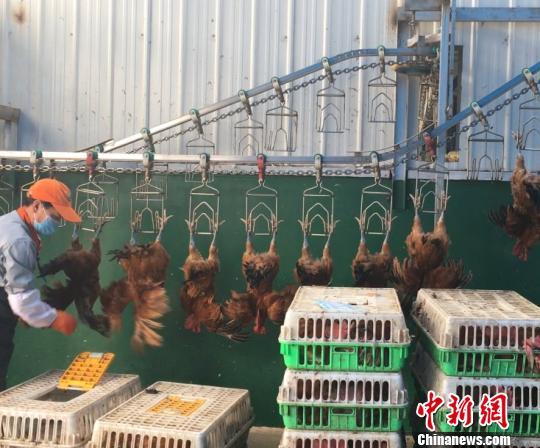 资料图:工作人员准备挂鸡屠宰。 谢敏君 摄