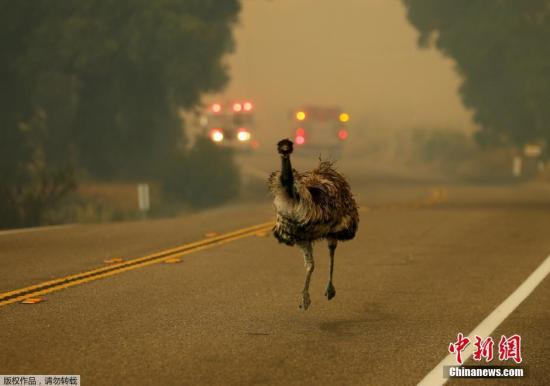 资料图片:美国加州一只鸸鹋在路上。