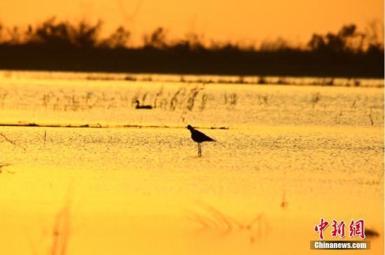 近年来,位于新疆天山北麓的玛纳斯县国家湿地公园正逐渐成为各类鸟类、野生动物等喜爱的乐园。该湿地公园位于玛纳斯县城北,自然景观优美,滩涂植物丛生,形成了典型的湿地植被景观;丰富的食物资源,为鸟类提供了良好的觅食场所,其中现有的国家Ⅰ、Ⅱ级保护动物有15种,形成了以鸟类和湿地植物为主的独特的湿地景观。公园从成立到如今,玛纳斯县投入30多亿元在旅游景区开发、生态保护等建设上,使其成为湿地生态系统健康完整、旅游景观资源丰富、自然环境优美的国家湿地公园。袁彬峰 摄