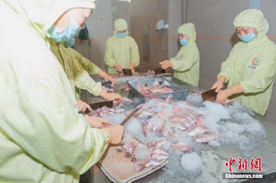 """6月28日,广东阳江,生产车间内工人们正在制作供港生鲜鱼丸。供港生鲜是指从内地专门为港澳提供鲜活冷冻食品,至今已经历经54年历程,建立了一套规范的出口食品质量安全保障规范。近来在国家质检总局等部门支持下,供港生鲜企业和产品按照同线同标要求回归内地。7月1日,全国首家供港生鲜门店将在北京开店,一些从南海水域出产的食品来到北京""""赶考"""",首次接受内地消费者的考验。 中新社记者 钟欣 摄"""
