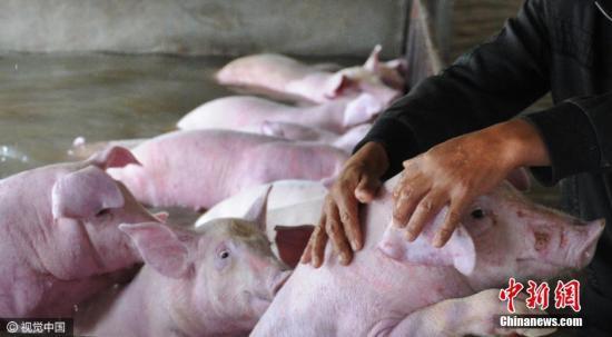 抚摸着生猪和它们诀别。 图片来源:视觉中国