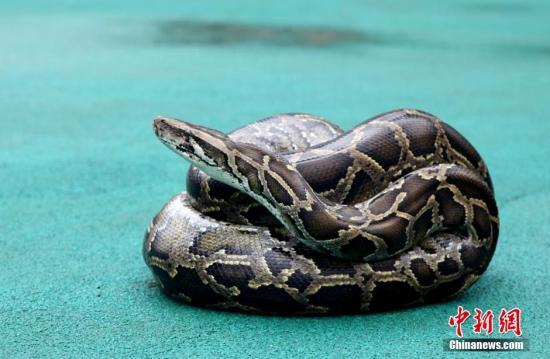 """日前,四川攀枝花太平镇一果园内发现一条长4.2米,重约50斤,蟒蛇身份存疑""""谜团""""待解。果园的主人说,蟒蛇曾经吞食过他的家禽,最近又盘踞在他家的果园里。""""攀枝花市境内很少发现有如此大的蟒蛇,是否属于外来物种有待专家鉴定。""""仁和区消防中队中队长宋飞称。""""从动物种群原理上来看,单纯一条蛇是不可能作为一个种群保留下来的,这就意味着在这里还会有更多的不同年龄、大小的蟒蛇。""""中科院成都生物研究所两栖爬行动物标本室工程师蔡波告诉工作人员,是不是野生需检测后才知道,不过饲养逃走的可能性较大。蟒蛇目前还在当地,林业部门下周会把蟒蛇带回成都。图为抓回的蟒蛇。吴从昊 摄"""