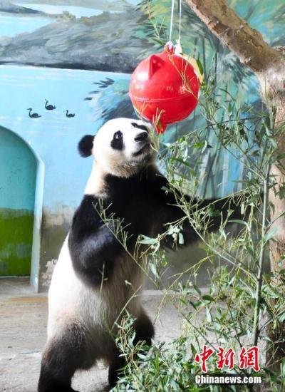 """7月27日,大熊猫在""""华诞派对""""上高兴玩""""球""""。当日,济南植物园为大熊猫""""叮叮""""和""""咚咚""""举行""""华诞派对"""",在小兄弟们的祝愿歌声中,""""国宝""""大熊猫迎来6岁华诞。 中新社记者 张勇 摄"""