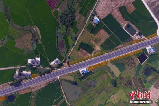 7月28日,在湖北省宜昌市枝当一级公路枝江段,两旁的花海美景引得众多游客纷纷驻足观看。枝当一级公路枝江段长15.83公里,其绿化带单边宽11米,绿化总面积30多万平方米。图为路两旁都是乡村风景。周星亮 摄