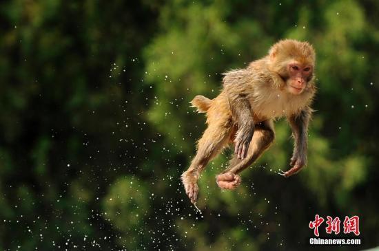 日本千叶县一动物园栅栏因台风受损 约100只猴子逍遥笼外
