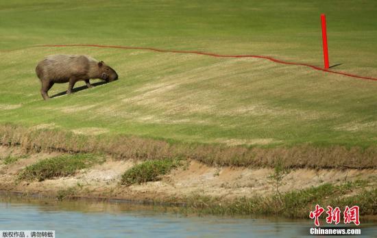 当地时间8月15日,高尔夫球场再次出现了一只淡定的水豚。