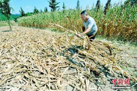 资料图 村民正在把枯死的玉米秸秆砍断晒干用以烧饭。卓忠伟 摄