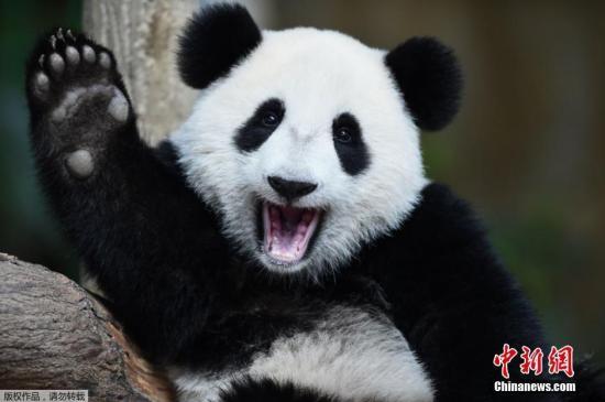 """当地时间8月23日,马来西亚吉隆坡,国家动物园为一岁的熊猫宝宝""""暖暖""""举行生日庆祝活动,小家伙挥手卖萌狂圈粉。"""