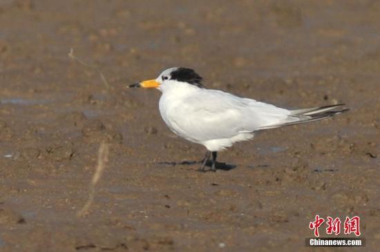 """8月30日,在青岛胶州湾湿地发现的世界级濒危鸟类黑嘴端凤头燕鸥,经专家确认,确实为传说中的""""神话之鸟""""。它们是目前世界上最濒危的鸟种之一,自1863年被命名以来,到2000年,人类对它们一共只有6次确切的观察记录。因为数量稀少神秘,一度以为它以灭绝,被学者专家称为""""神话之鸟""""。中新社发 王海滨 摄 图片来源:CNSPHOTO"""