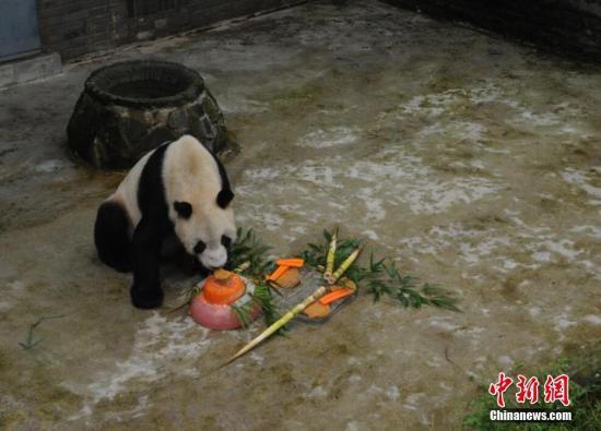 """图为大熊猫""""盼盼""""吃得津津有味。邱宇 摄"""
