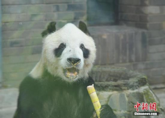 """图为吃竹子的大熊猫""""盼盼""""。邱宇 摄"""