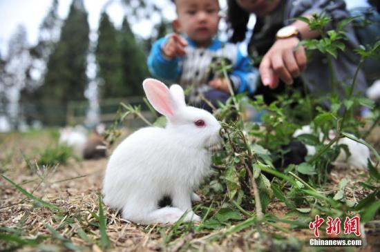 资料图:兔子。<a target='_blank' href='http://www.chinanews.com/'>中新社</a>记者 刘冉阳 摄