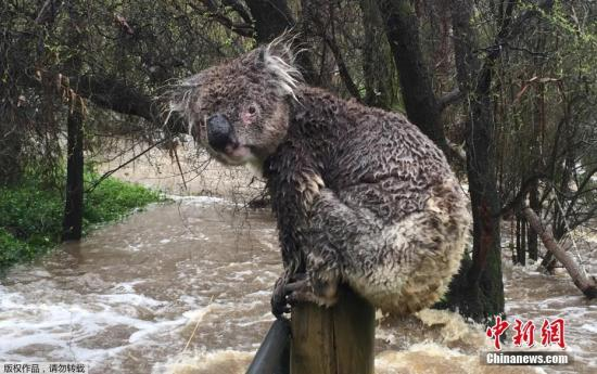 当地时间9月14日,澳大利亚阿德莱德山斯特灵,一只考拉逃出洪水淹没地区,暂时栖身栅栏上。