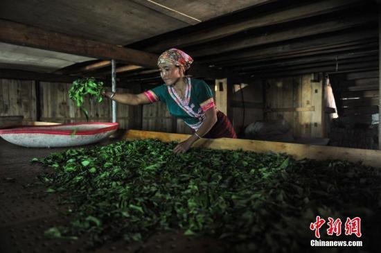 9月16日,云北澜沧景迈赡上多数平易近族妇女正在家里烘干茶叶。a target='_blank' href='http://www.chinanews.com/'种孤社/a记者 任东 摄