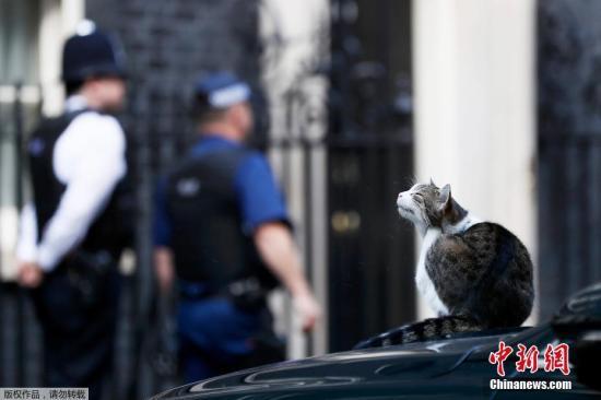 """资料图:英国伦敦,英国""""首席捕鼠官""""拉里蹲在英国首相特蕾莎・梅的专车上,像是在帮首相看车。"""