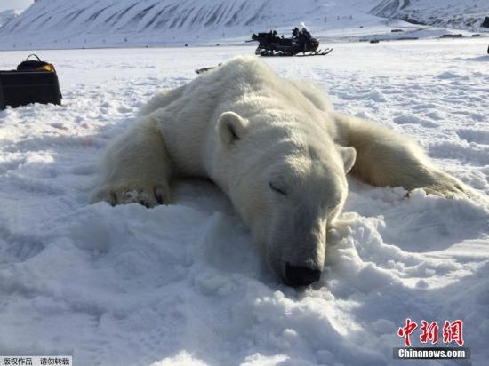 资料图:北极熊