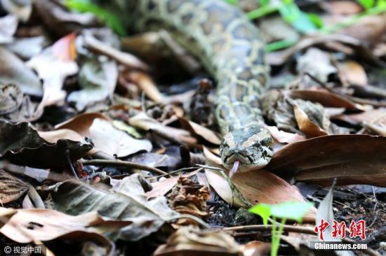 资料图:蟒蛇。 陆才兴 摄 图片来源:视觉中国