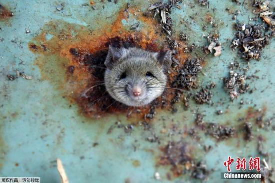 资料图:老鼠。