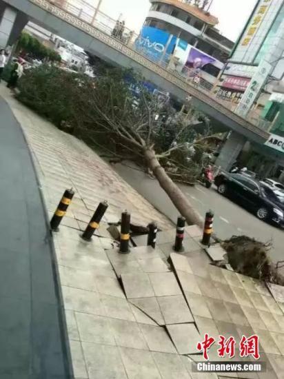 """10月21日,""""海马""""狂飙至广东省河源市,该市多地大树被连根拔起或折断,有广告牌被吹倒。康孝娟 摄"""