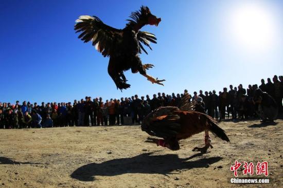 """柬埔寨92只鸡参与""""斗鸡""""被依法处""""死刑"""""""